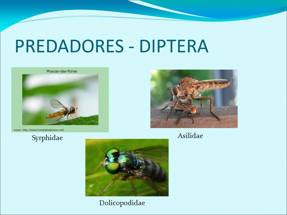 PREDADORES - DIPTERA Syrphidae Asilidae Dolicopodidae