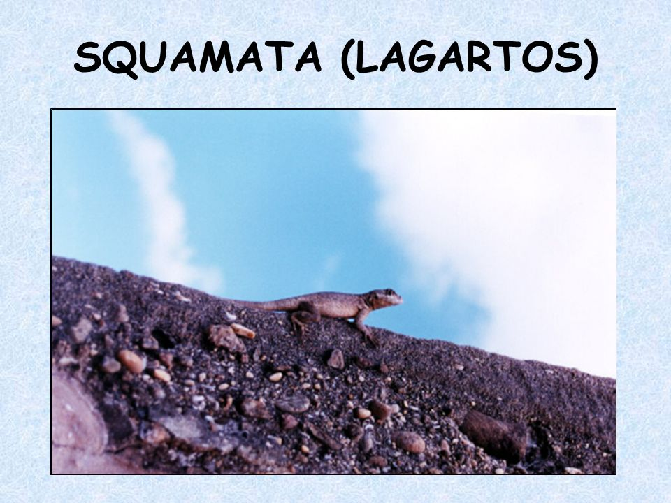 SQUAMATA (LAGARTOS)