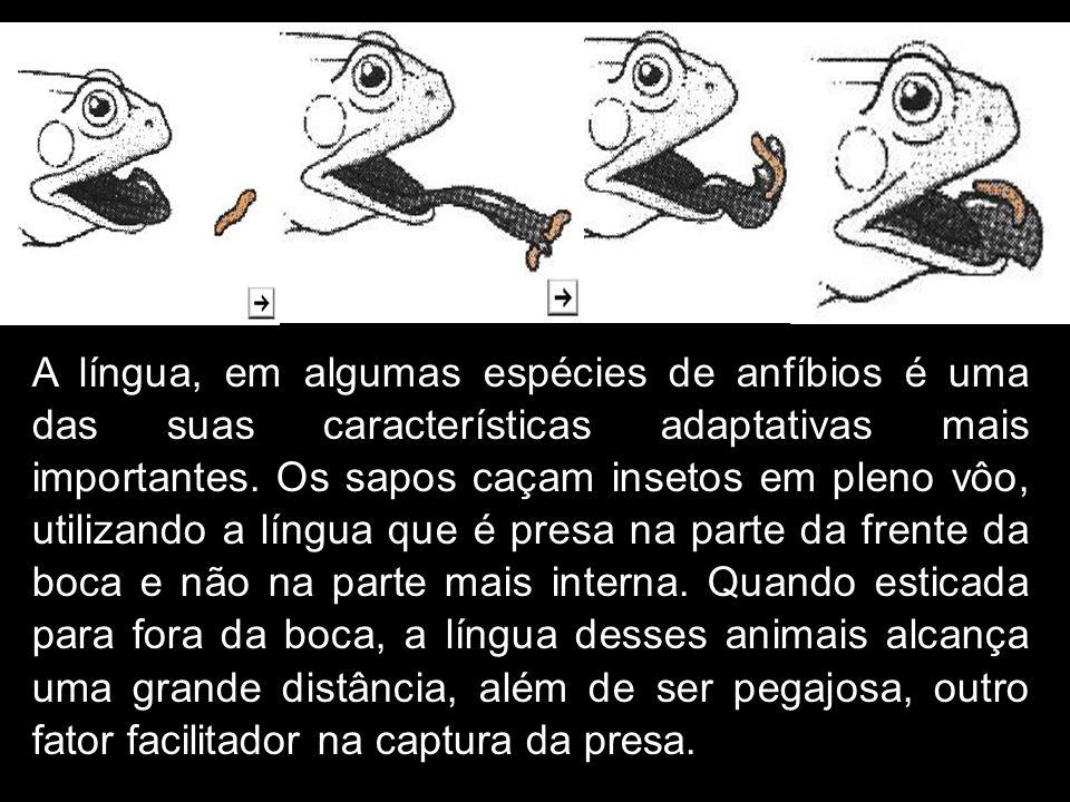 A língua, em algumas espécies de anfíbios é uma das suas características adaptativas mais importantes. Os sapos caçam insetos em pleno vôo, utilizando
