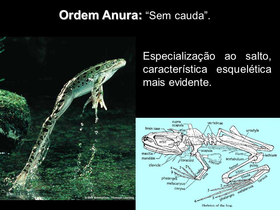 Ordem Anura: Ordem Anura: Sem cauda. Especialização ao salto, característica esquelética mais evidente.