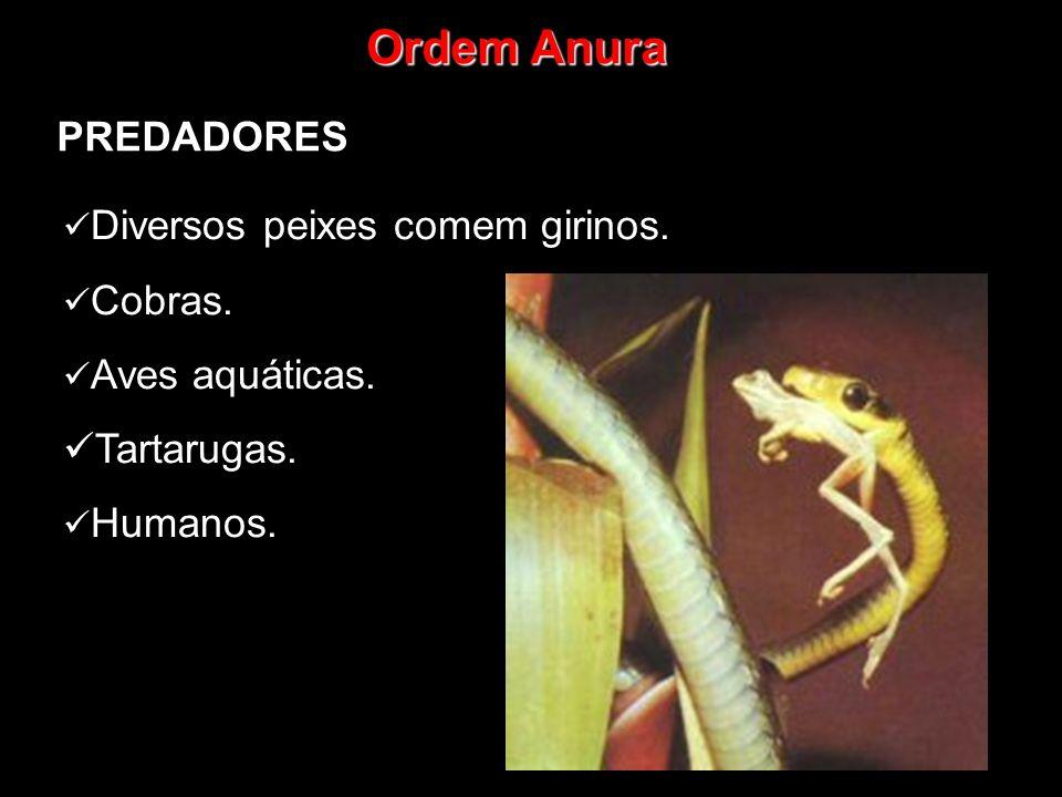 Ordem Anura PREDADORES Diversos peixes comem girinos. Cobras. Aves aquáticas. Tartarugas. Humanos.