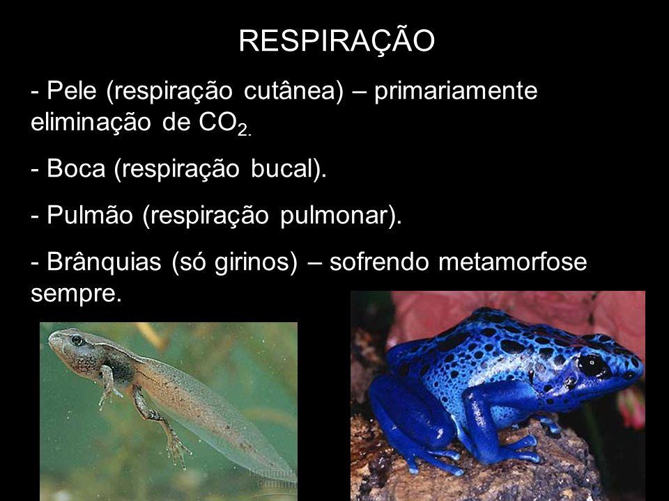 RESPIRAÇÃO - Pele (respiração cutânea) – primariamente eliminação de CO 2. - Boca (respiração bucal). - Pulmão (respiração pulmonar). - Brânquias (só