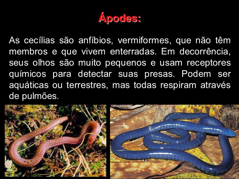 Ápodes: As cecílias são anfíbios, vermiformes, que não têm membros e que vivem enterradas. Em decorrência, seus olhos são muito pequenos e usam recept