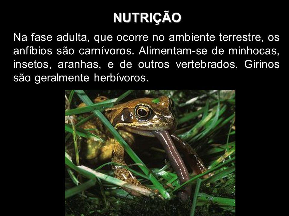 NUTRIÇÃO Na fase adulta, que ocorre no ambiente terrestre, os anfíbios são carnívoros. Alimentam-se de minhocas, insetos, aranhas, e de outros vertebr