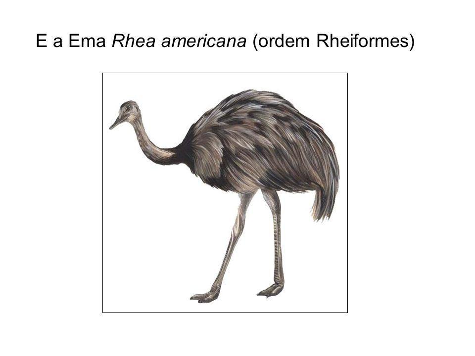 E a Ema Rhea americana (ordem Rheiformes)