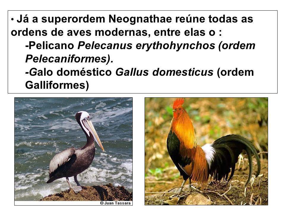 Já a superordem Neognathae reúne todas as ordens de aves modernas, entre elas o : -Pelicano Pelecanus erythohynchos (ordem Pelecaniformes). -Galo domé