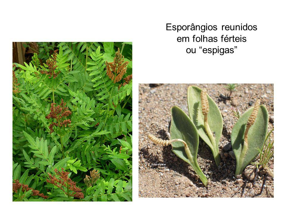 Esporângios reunidos em folhas férteis ou espigas