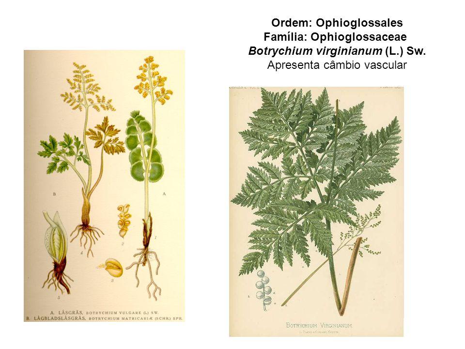 Ordem: Ophioglossales Família: Ophioglossaceae Botrychium virginianum (L.) Sw.