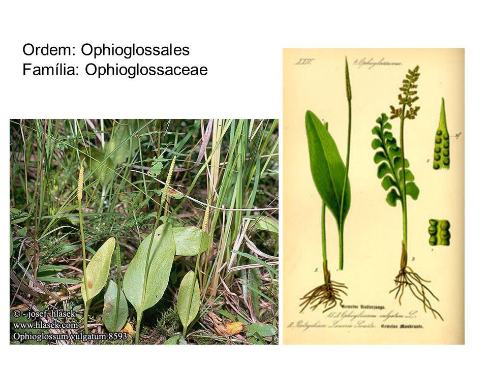 Ordem: Ophioglossales Família: Ophioglossaceae