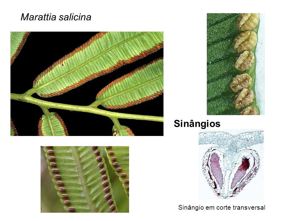 Sinângios Marattia salicina Sinângio em corte transversal