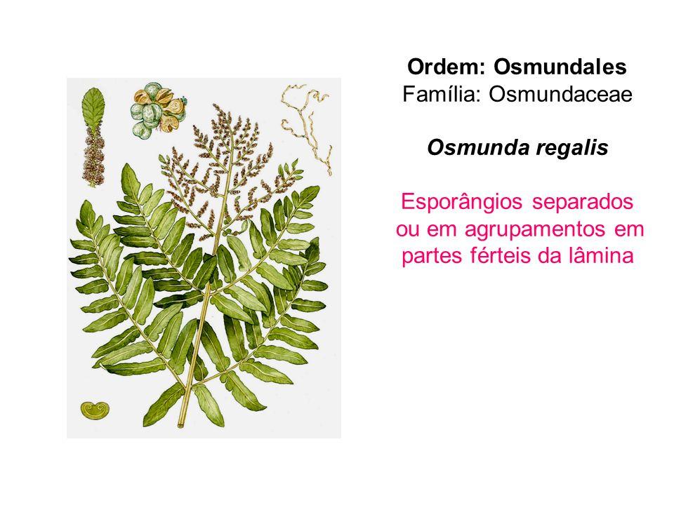 Ordem: Osmundales Família: Osmundaceae Osmunda regalis Esporângios separados ou em agrupamentos em partes férteis da lâmina