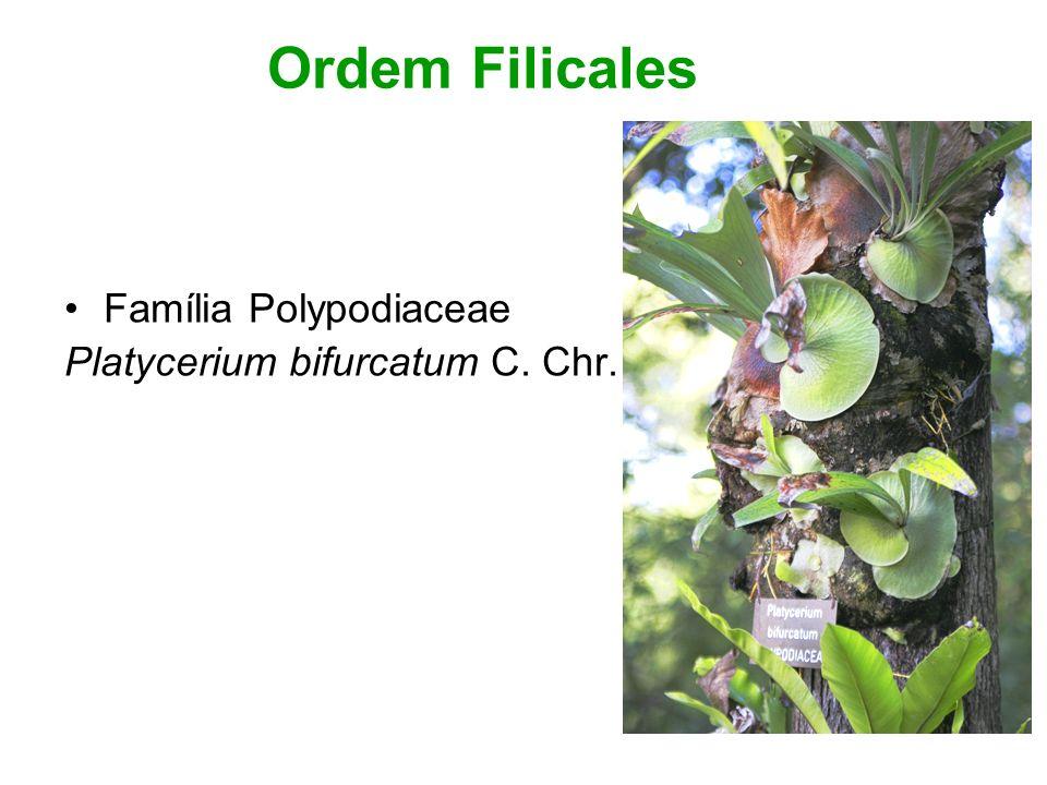 Ordem Filicales Família Polypodiaceae Platycerium bifurcatum C. Chr.