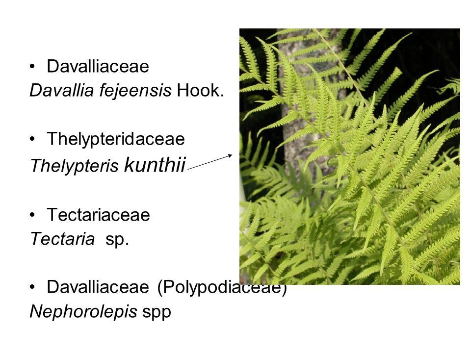 Davalliaceae Davallia fejeensis Hook.
