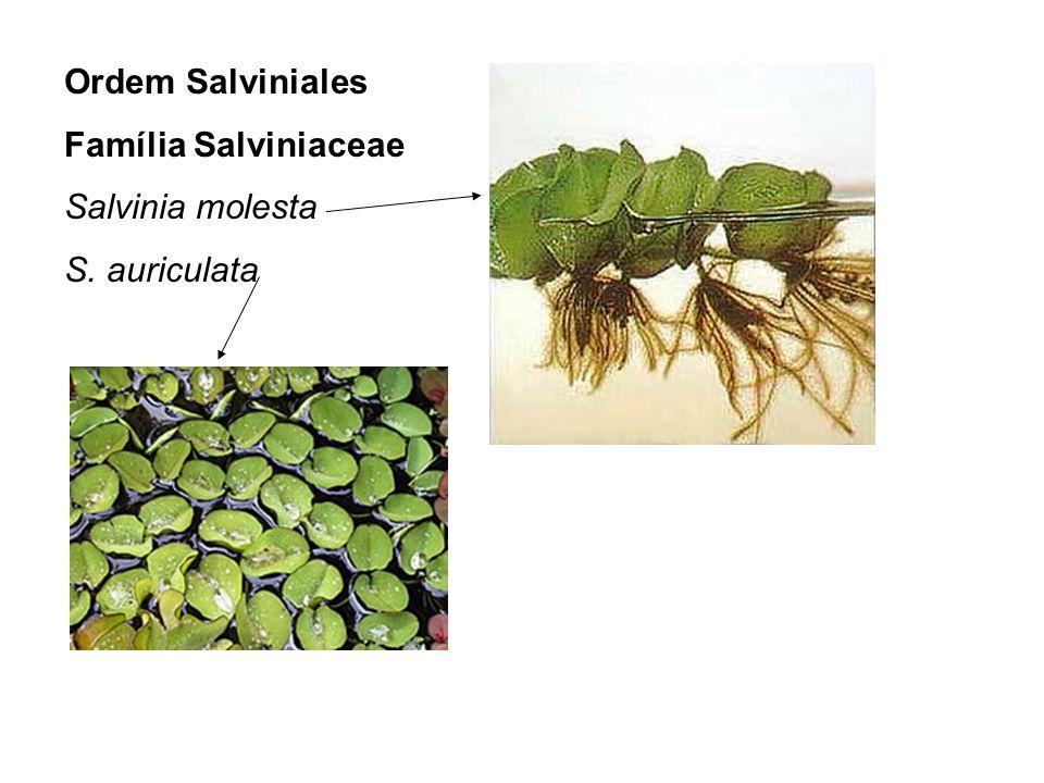 Ordem Salviniales Família Salviniaceae Salvinia molesta S. auriculata