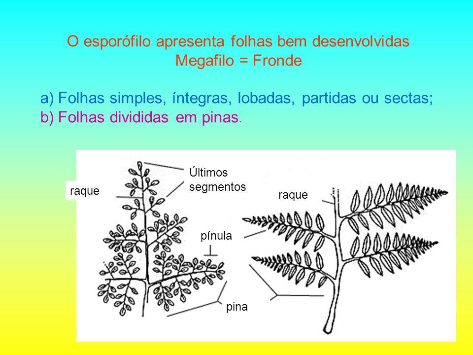 O esporófilo apresenta folhas bem desenvolvidas Megafilo = Fronde a)Folhas simples, íntegras, lobadas, partidas ou sectas; b)Folhas divididas em pinas.