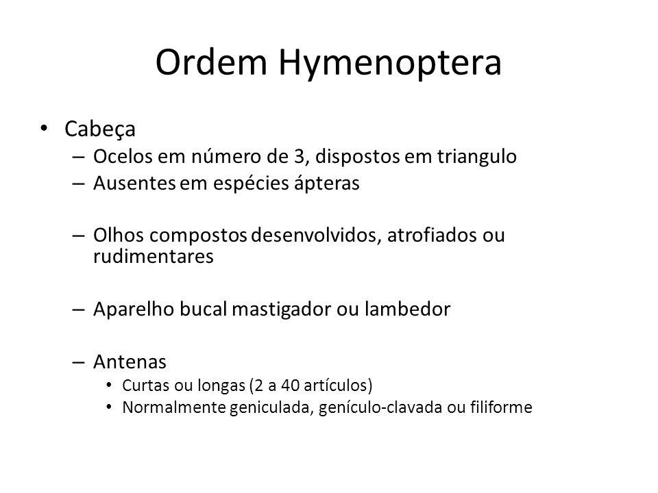 Ordem Hymenoptera Cabeça – Ocelos em número de 3, dispostos em triangulo – Ausentes em espécies ápteras – Olhos compostos desenvolvidos, atrofiados ou