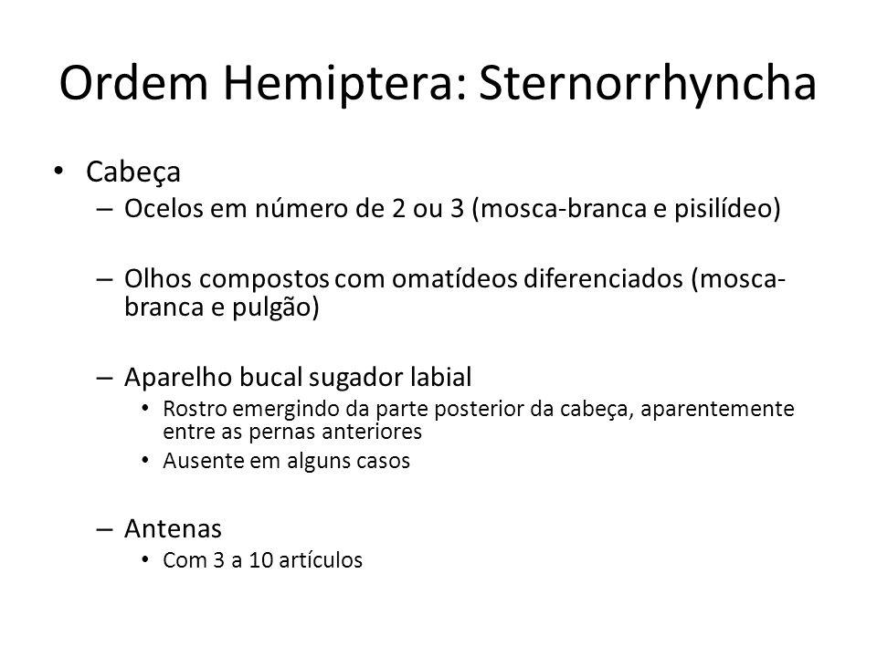 Ordem Hemiptera: Sternorrhyncha Cabeça – Ocelos em número de 2 ou 3 (mosca-branca e pisilídeo) – Olhos compostos com omatídeos diferenciados (mosca- b