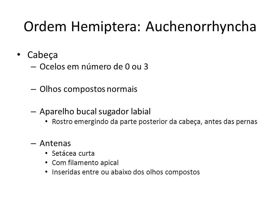 Ordem Hemiptera: Auchenorrhyncha Cabeça – Ocelos em número de 0 ou 3 – Olhos compostos normais – Aparelho bucal sugador labial Rostro emergindo da par