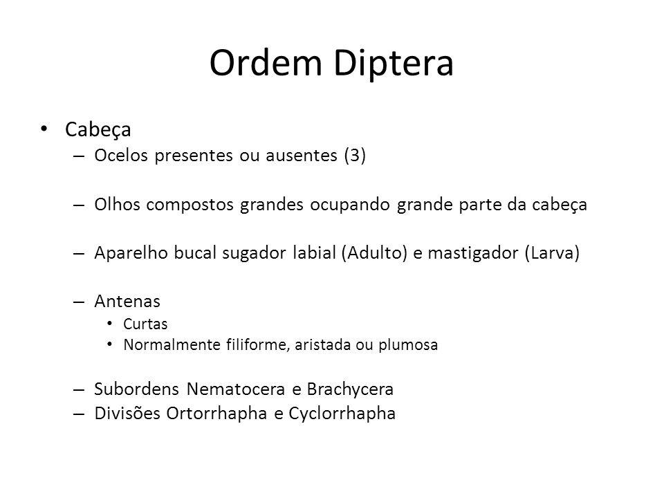 Ordem Diptera Cabeça – Ocelos presentes ou ausentes (3) – Olhos compostos grandes ocupando grande parte da cabeça – Aparelho bucal sugador labial (Adu