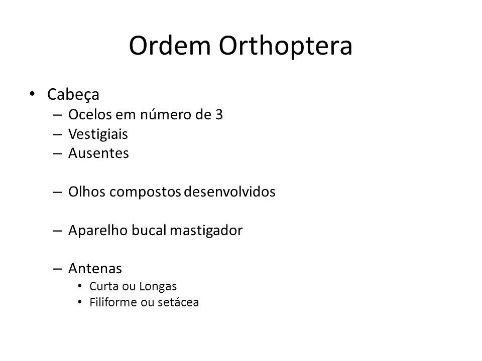 Ordem Orthoptera Cabeça – Ocelos em número de 3 – Vestigiais – Ausentes – Olhos compostos desenvolvidos – Aparelho bucal mastigador – Antenas Curta ou