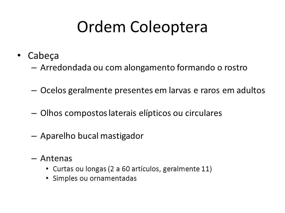 Ordem Coleoptera Cabeça – Arredondada ou com alongamento formando o rostro – Ocelos geralmente presentes em larvas e raros em adultos – Olhos composto