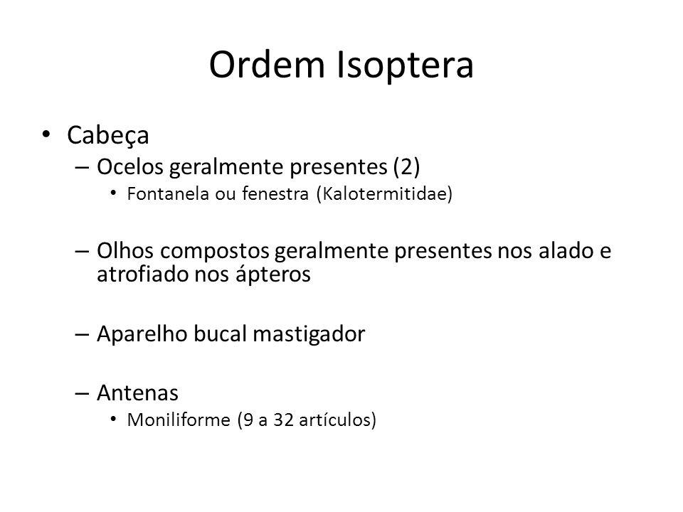 Ordem Isoptera Cabeça – Ocelos geralmente presentes (2) Fontanela ou fenestra (Kalotermitidae) – Olhos compostos geralmente presentes nos alado e atro