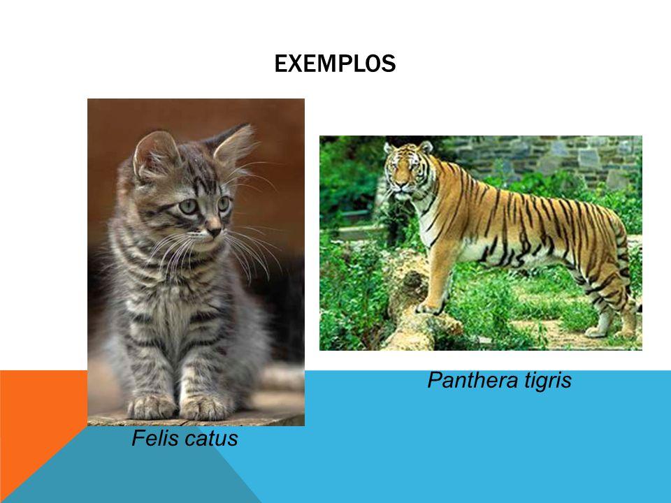 EXEMPLOS Felis catus Panthera tigris