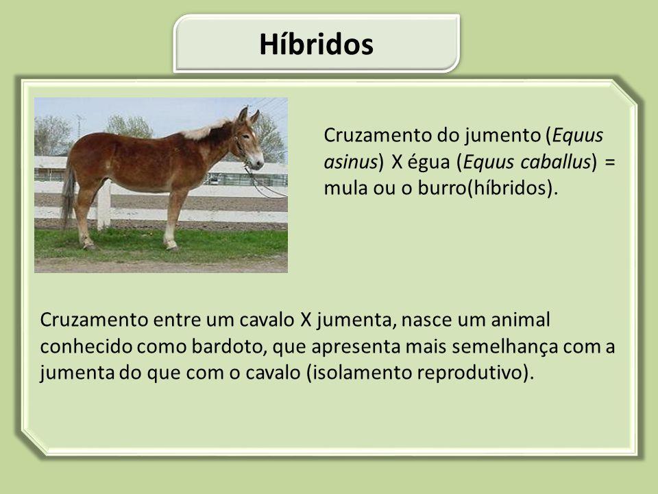 Cruzamento do jumento (Equus asinus) X égua (Equus caballus) = mula ou o burro(híbridos). Cruzamento entre um cavalo X jumenta, nasce um animal conhec