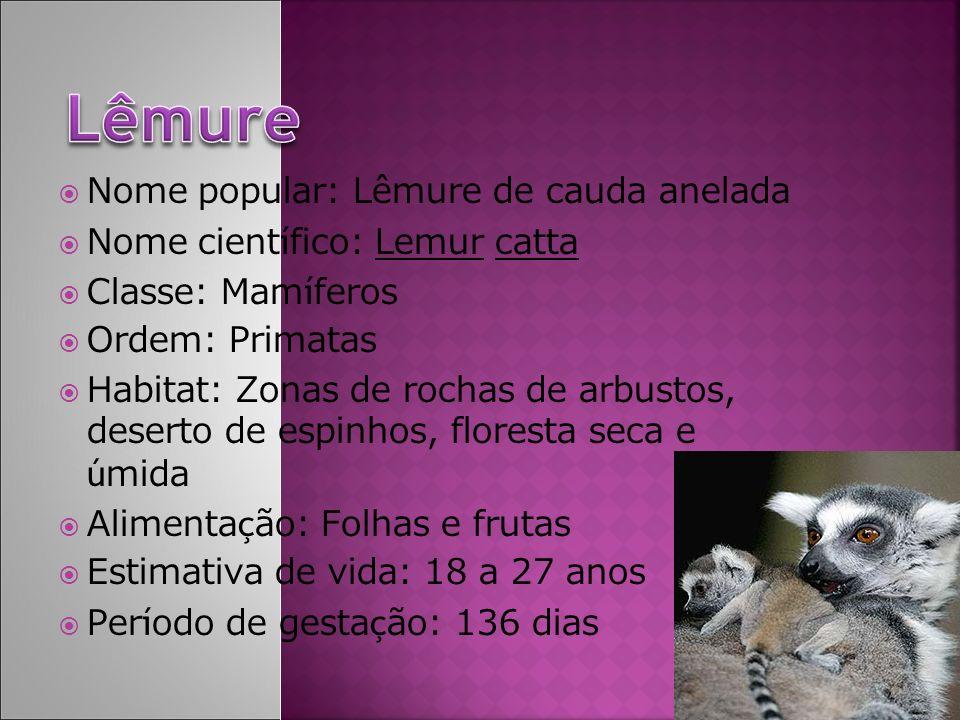 Nome popular: Lêmure de cauda anelada Nome cient í fico: Lemur catta Classe: Mam í feros Ordem: Primatas Habitat: Zonas de rochas de arbustos, deserto