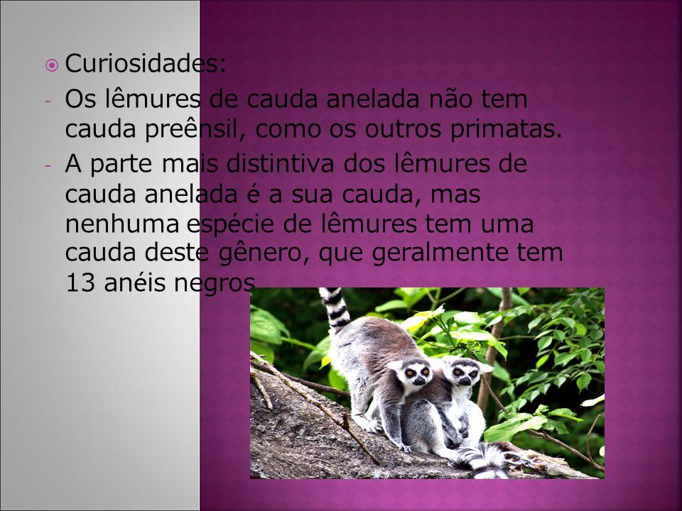 Curiosidades: - Os lêmures de cauda anelada não tem cauda preênsil, como os outros primatas. - A parte mais distintiva dos lêmures de cauda anelada é