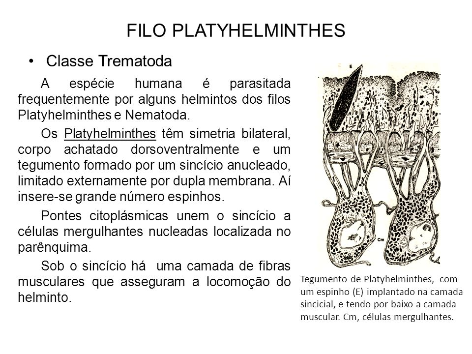 FILO PLATYHELMINTHES Classe Trematoda A espécie humana é parasitada frequentemente por alguns helmintos dos filos Platyhelminthes e Nematoda. Os Platy