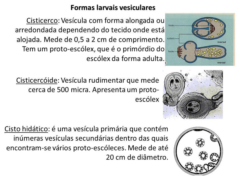 Formas larvais vesiculares Cisticerco: Vesícula com forma alongada ou arredondada dependendo do tecido onde está alojada. Mede de 0,5 a 2 cm de compri
