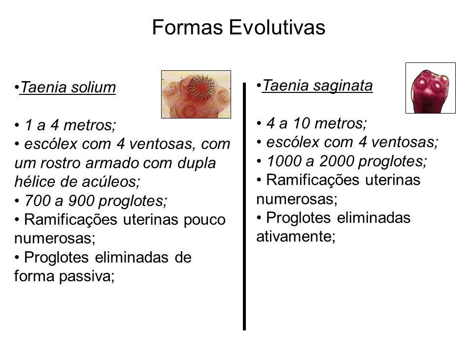 Formas Evolutivas Taenia solium 1 a 4 metros; escólex com 4 ventosas, com um rostro armado com dupla hélice de acúleos; 700 a 900 proglotes; Ramificaç