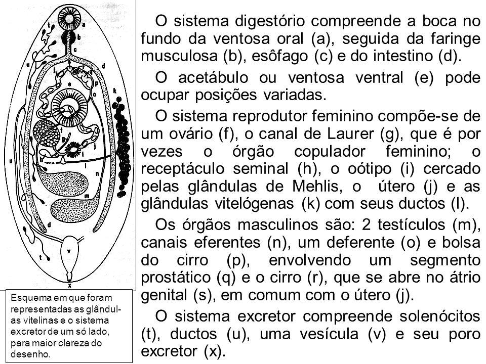 O verme adulto (A) põe ovos (B) que, embrionados, liberam no meio líquido uma larva ciliada, o miracídio (C).