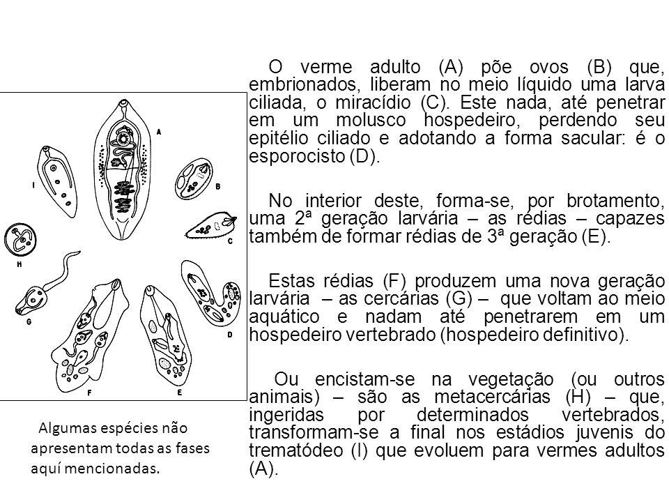 O verme adulto (A) põe ovos (B) que, embrionados, liberam no meio líquido uma larva ciliada, o miracídio (C). Este nada, até penetrar em um molusco ho