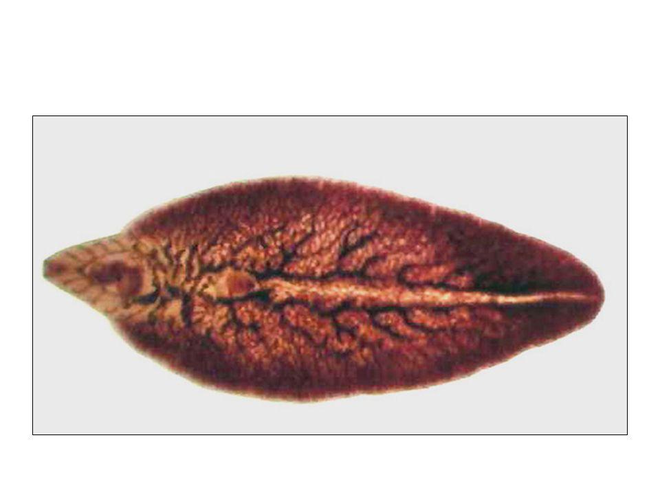 Ordem Cyclophyllidea ASPECTOS MORFO-FISIOLÓGICOS ESCÓLEX (cabeça): com órgãos para fixação; tem 4 ventosas e pode ou não ter acúleos (rostro armado); COLO: zona de crescimento (tem células germinativas), onde são geradas as proglotes; ESTRÓBILO (corpo): constituído por progloles (segmentos, anéis), que aumentam em tamanho conforme se afastam do colo.