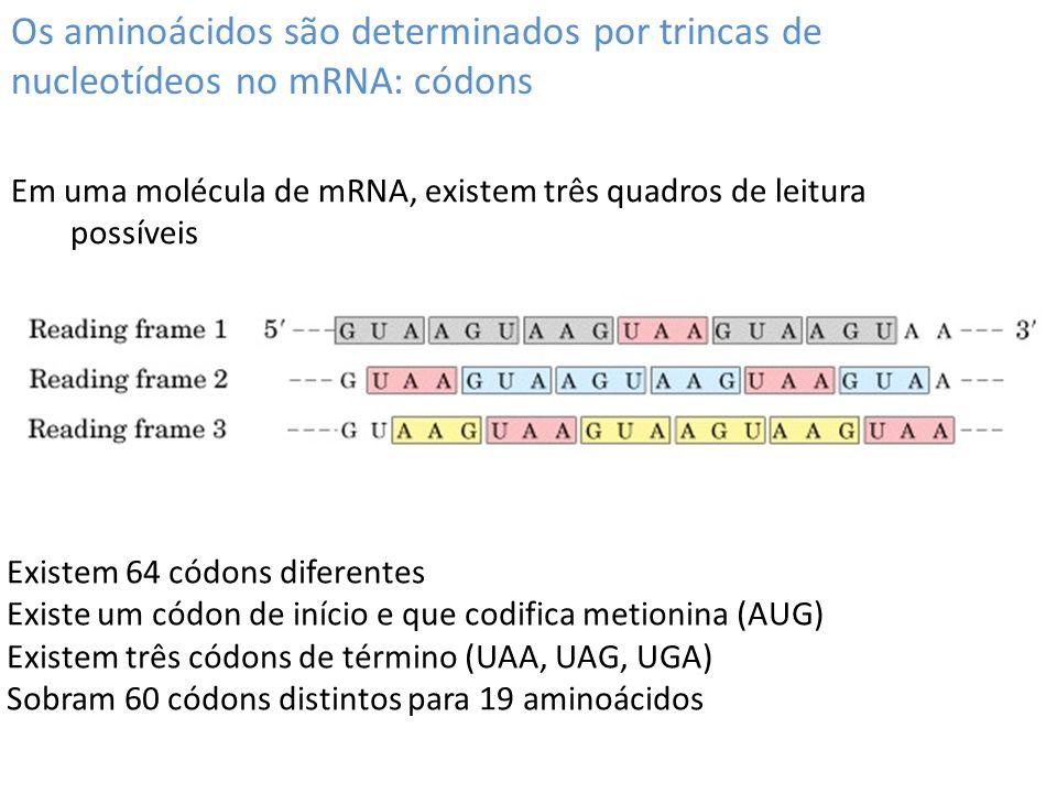 Os aminoácidos são determinados por trincas de nucleotídeos no mRNA: códons Em uma molécula de mRNA, existem três quadros de leitura possíveis Existem