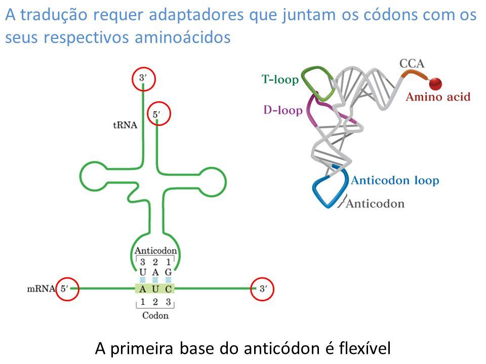 A tradução requer adaptadores que juntam os códons com os seus respectivos aminoácidos A primeira base do anticódon é flexível