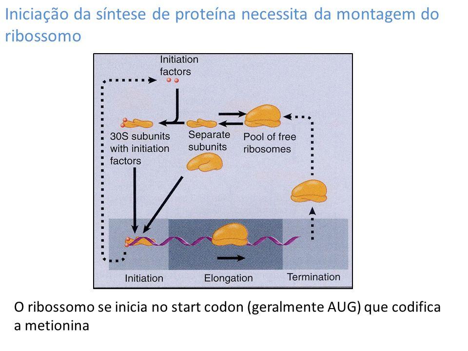 Iniciação da síntese de proteína necessita da montagem do ribossomo O ribossomo se inicia no start codon (geralmente AUG) que codifica a metionina