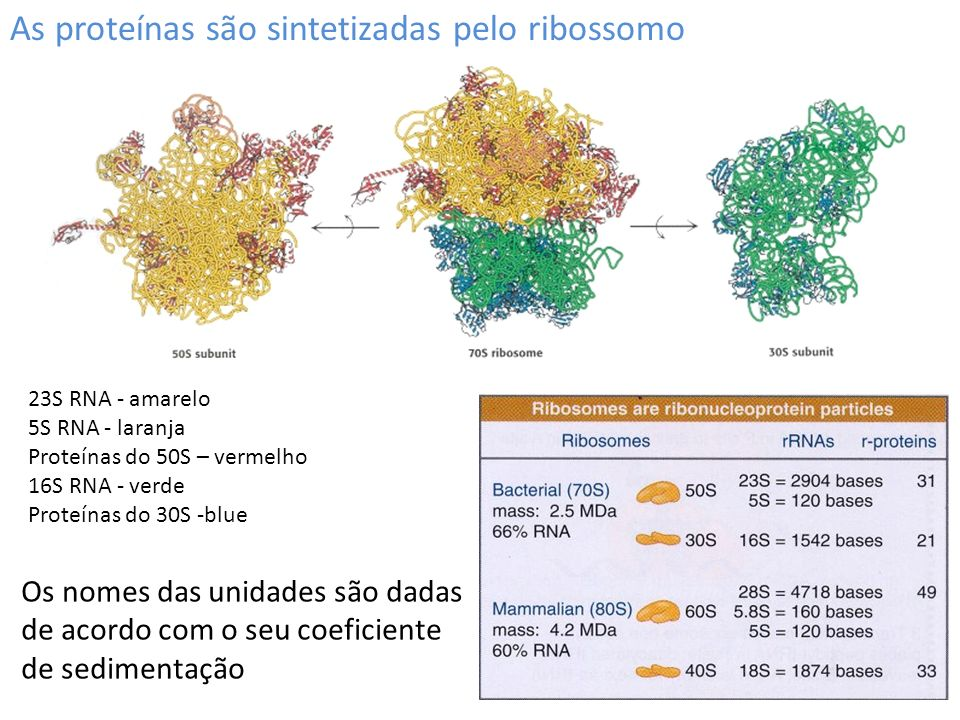 As proteínas são sintetizadas pelo ribossomo 23S RNA - amarelo 5S RNA - laranja Proteínas do 50S – vermelho 16S RNA - verde Proteínas do 30S -blue Os