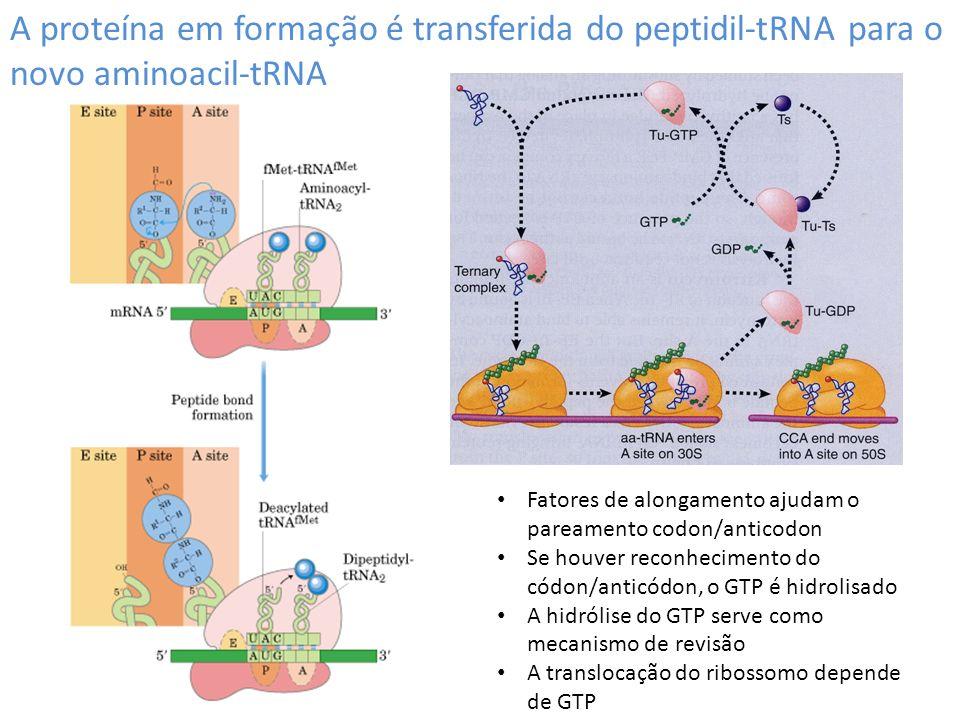A proteína em formação é transferida do peptidil-tRNA para o novo aminoacil-tRNA Fatores de alongamento ajudam o pareamento codon/anticodon Se houver