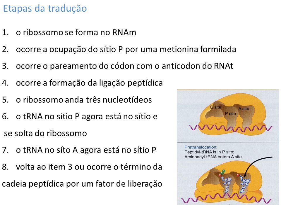 Etapas da tradução 1.o ribossomo se forma no RNAm 2.ocorre a ocupação do sítio P por uma metionina formilada 3.ocorre o pareamento do códon com o anti