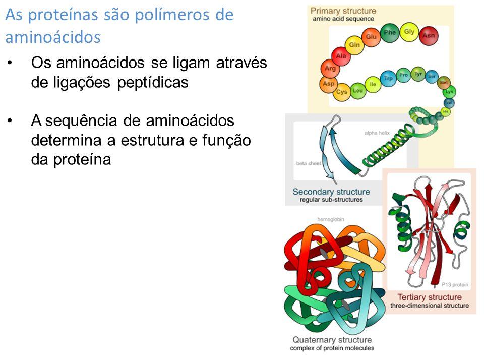 As proteínas são polímeros de aminoácidos Os aminoácidos se ligam através de ligações peptídicas A sequência de aminoácidos determina a estrutura e fu