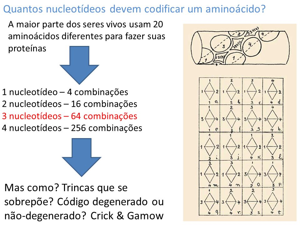 Quantos nucleotídeos devem codificar um aminoácido? 1 nucleotídeo – 4 combinações 2 nucleotídeos – 16 combinações 3 nucleotídeos – 64 combinações 4 nu