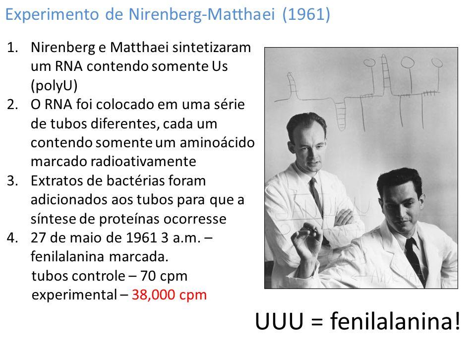 Experimento de Nirenberg-Matthaei (1961) 1.Nirenberg e Matthaei sintetizaram um RNA contendo somente Us (polyU) 2.O RNA foi colocado em uma série de t