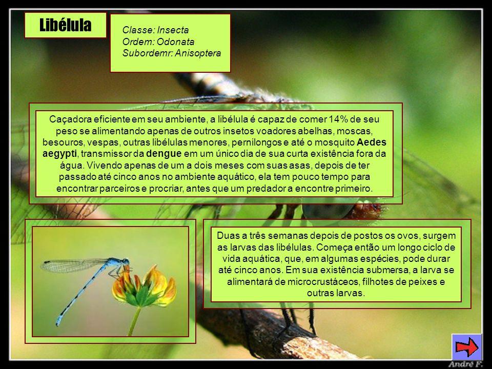 Libélula Classe: Insecta Ordem: Odonata Subordemr: Anisoptera Caçadora eficiente em seu ambiente, a libélula é capaz de comer 14% de seu peso se alimentando apenas de outros insetos voadores abelhas, moscas, besouros, vespas, outras libélulas menores, pernilongos e até o mosquito Aedes aegypti, transmissor da dengue em um único dia de sua curta existência fora da água.
