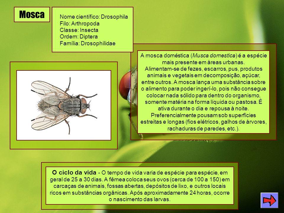 Mosca Nome científico: Drosophila Filo: Arthropoda Classe: Insecta Ordem: Diptera Família: Drosophilidae A mosca doméstica (Musca domestica) é a espécie mais presente em áreas urbanas.