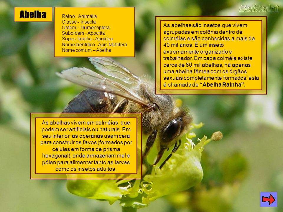 Abelha Reino - Animália Classe - Insecta Ordem - Humenoptera Subordem - Apocrita Super- família - Apoidea Nome científico - Apis Mellifera Nome comum – Abelha As abelhas são insetos que vivem agrupadas em colônia dentro de colméias e são conhecidas a mais de 40 mil anos.
