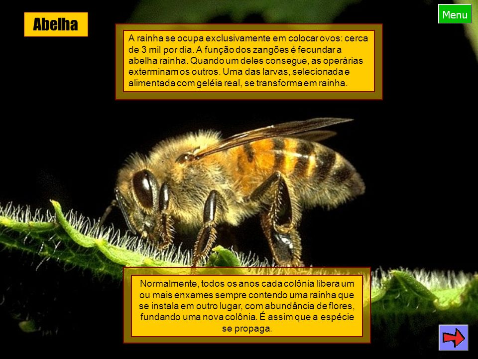 Pulga Filo: Arthropoda Classe: Insecta Ordem: Siphonaptera Comprimento: até 0,4 cm Boca equipada para sugar o sangue.