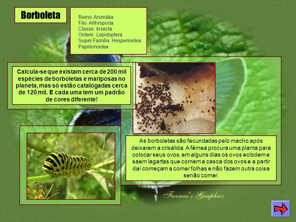 Borboleta Reino: Animália Filo: Arthropoda Classe: Insecta Ordem: Lepidoptera Super Família: Hesperioidea Papilionoidea Calcula-se que existam cerca de 200 mil espécies de borboletas e mariposas no planeta, mas só estão catalogadas cerca de 120 mil.